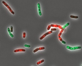 Cmpg Spi Research Project Programmed Cell Death In Bacteria